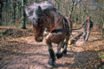1988 - Pulling wood with a horse - photo Jaap de Ruig